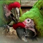 Comportement : le rôle du lissage de plumes mutuel chez les perroquets