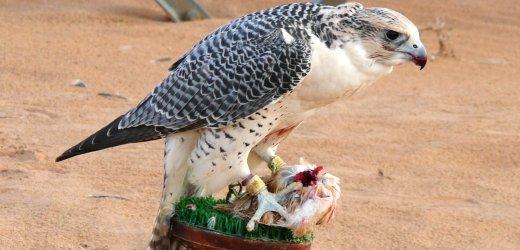 La clinique aviaire des faucons d'Abu Dhabi, un lieu d'exception dans les Emirats Arabes Unis