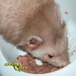 Alimentation : la fréquence des repas chez le furet (rôle, symptôme,conséquences)