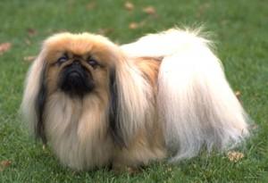 Le Pékinois, chien lion sacré
