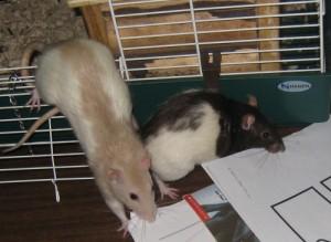 Comportement : les rats, prédateurs, animaux-proies et cleptomanes