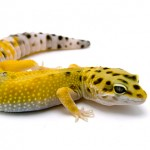 Le Gecko léopard, ou Eublepharis macularis