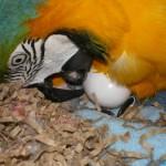 Santé et reproduction : la ponte d'oeufs non fécondés chez les perroquets (cause, symptômes, conséquences)