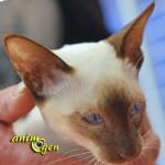 Le Siamois, un chat racé à l'élégance rare