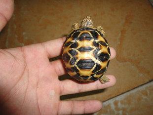 La tortue terrestre, tortue de terre, ou tortue de jardin (alimentation, maintien, reproduction)
