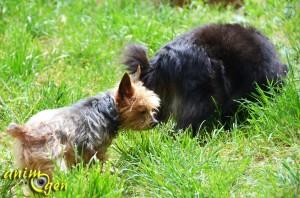 Le Yorkshire terrier, un caractère affirmé dans un corps miniature