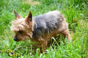 yorkshire-terrier-chiens-races-caractère-entretien-éducation-comportement-origines-animal-animaux-compagnie-animogen-4