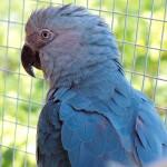 "Ara de Spix, ou cyanopsitta spixii, la véritable histoire du perroquet bleu de ""Rio"""