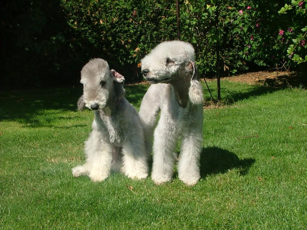 Le Bedlington terrier, un chien mouton à l'aspect singulier