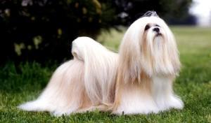Le Lhassa Apso, chien gardien des temples et palais du Tibet
