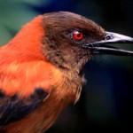 La toxicité des plumes chez les oiseaux à bec droit : le Pitohui variable