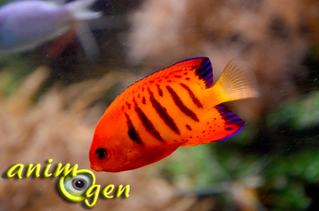Le poisson ange flamboyant ou centropyge loriculus animogen for Bac communautaire poisson rouge