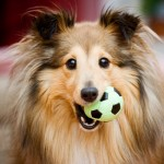 Le Sheltie, ou berger des Shetlands, un colley miniature passe-partout