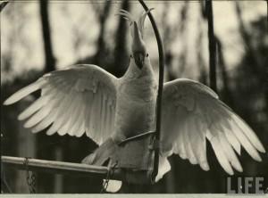 Accessoire des siècles passés : la chaîne de patte pour perroquet