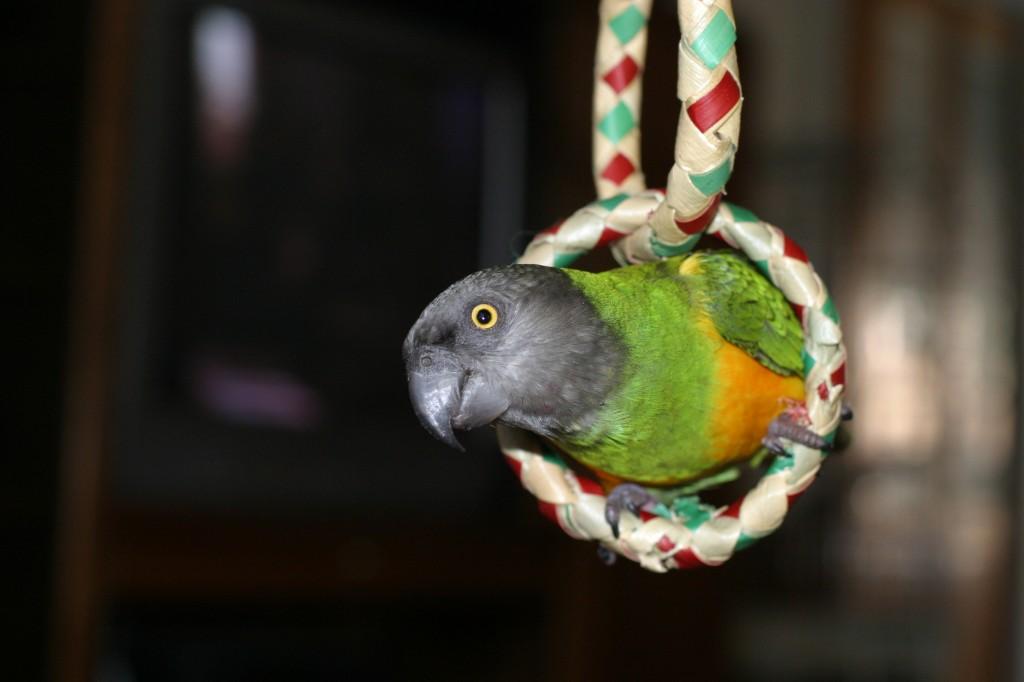Pourquoi doit-on toujours acheter un perroquet provenant d'un élevage ?