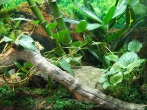 L'Anolis vert, Anolis de Caroline, ou Anolis carolinensis