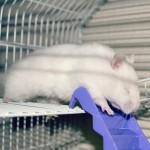 Santé : l'anophtalmie, ou absence d'yeux, chez le hamster doré