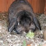 Santé : causes et conséquences de la perte d'appétit chez nos lapins de compagnie
