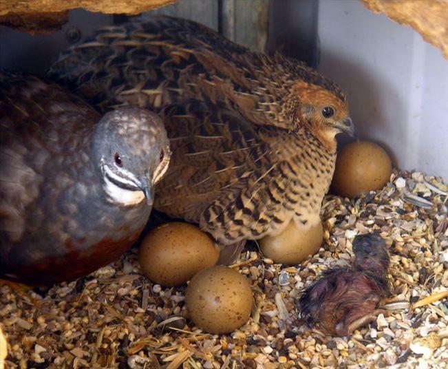 La caille de chine caille peinte ou coturnix chinensis une petite perle d asie animogen - Comment cuisiner les cailles ...