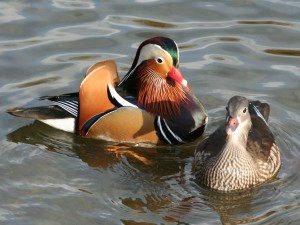 Le canard mandarin ou aix galericula animogen for Couleur du canard