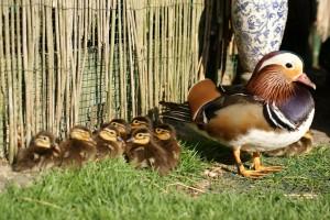 Le canard Mandarin, ou Aix galericula