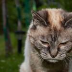 Santé : l'urée chez le chat