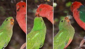 La régurgitation chez les perroquets, circonstances et fonction