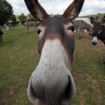 Fête de l'âne, la mule et le mulet à Arc et Senans (25) le samedi 27 juillet 2013