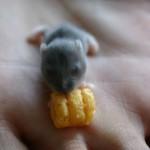 La naissance des hamsters : déroulement et accompagnement