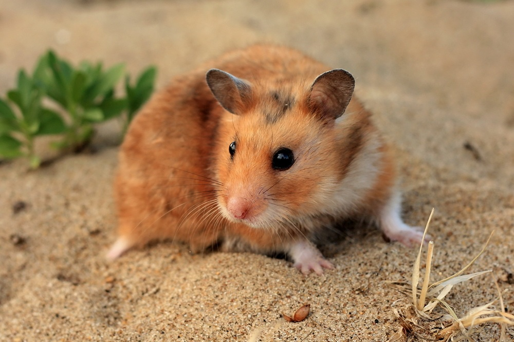 Il était une fois, le hamster et l'Homme