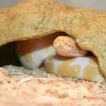 Brumation, hivernation ou hivernage chez les reptiles (causes, utilité, déroulement)