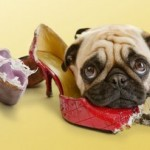 Santé : les bons réflexes lorsqu'un chien avale un objet
