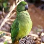 perruche de Maurice, ou gros cateau vert (Psittacula eques), un perroquet malade au bord de l'extinction
