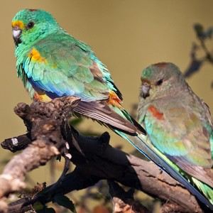 La perruche multicolore, ou Psephotus varius
