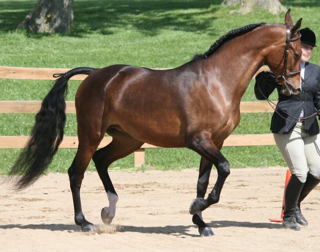 Le Pur sang anglais, un cheval de la race des galopeurs