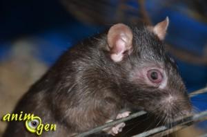 Santé : l'écorchure de l'œil chez les rongeurs et lapins (causes, conséquences, traitement)