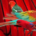 La particularité du pigment rouge chez les perroquets