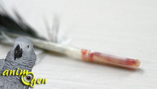 Santé de nos perroquets : qu'est-ce-qu'une plume de sang ?