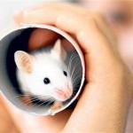 La souris domestique, ou mus musculus