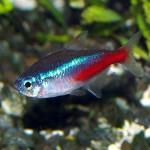 Le tétra néon, ou paracheirodon innesi, un poisson d'eau douce très populaire