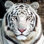 Pourquoi les tigres blancs n'existent-ils pas dans la nature ?