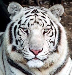 Pourquoi les tigres blancs n existent ils pas dans la nature animogen - Photo de tigre a imprimer ...