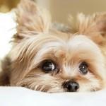Comportement : que nous disent les yeux de nos chiens ?