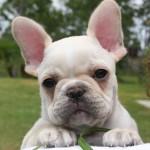 Le Bouledogue français, ou French bulldog, petit par la taille mais fort de caractère