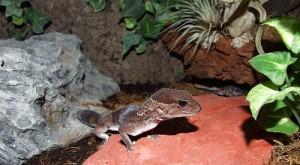 Le Gecko à queue grasse, Hemitheconyx caudicinctus, un lézard aux airs de gecko léopard