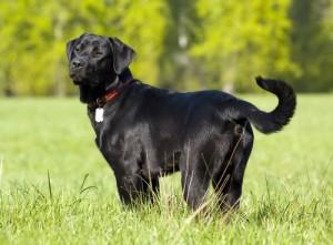 Le Labrador, un chien à la popularité méritée