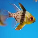 Le poisson cardinal pyjama, ou Sphaeramia nematoptera