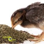 Alimentation et santé en basse-cour : l'importance du calcium pour les poules