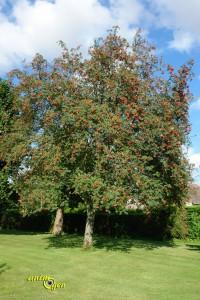Alimentation : le sorbier des oiseleurs, un arbre à surprises pour nos perroquets
