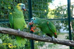 Le sorbier des oiseleurs, un arbre à surprises pour nos perroquets